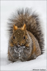 Eastern_Gray_Squirrel_1408-13