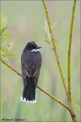 Eastern_Kingbird_1523-13