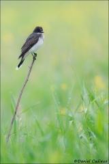 Eastern_Kingbird_1575-13