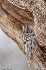 Eastern Screech-Owl_3747-18