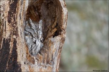 Eastern-screech_Owl_1046-15