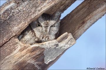Eastern_Screech-Owl_3305-17