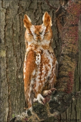Eastern_Screech-Owl_3807-13