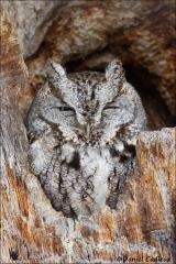 Eastern_Screech_Owl_1036-15