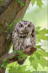 Eastern_Screech_Owl_6731-15
