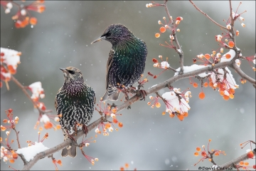 European Starling_5716-16