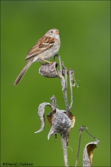 Field_Sparrow_5549-15