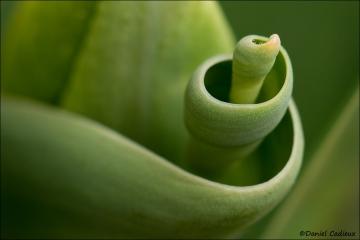 Tulip_1513-12