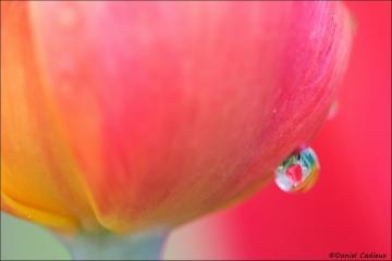 Tulip_4960-16