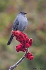 Gray Catbird_2021-17