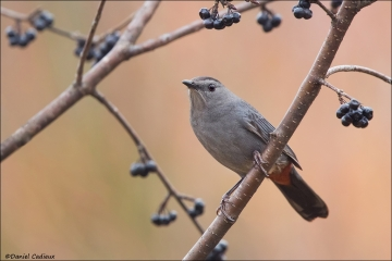 Gray Catbird_2035-17