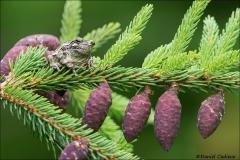 Gray_Tree_Frog_5108-17