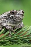 Gray_Tree_Frog_5147-17