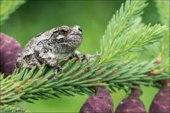 Gray_Tree_Frog_5177-17