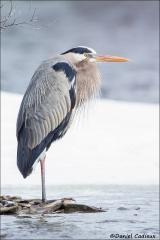 Great_Blue_Heron_0262-15