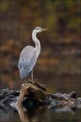 Great_Blue_Heron_0681-15