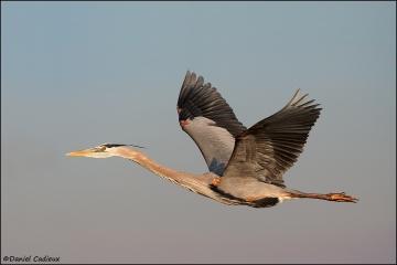 Great_Blue_Heron_3021-11