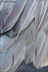 Great_Blue_Heron_3536-13
