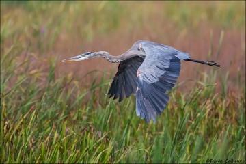 Great_Blue_Heron_5219-16
