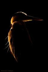 Great_Blue_Heron_9302-16