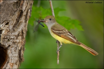Great-crested_Flycatcher_1551-11