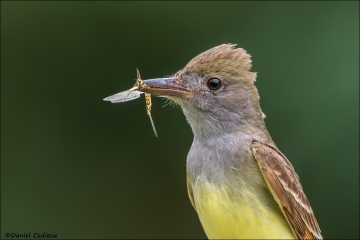 Great-crested_Flycatcher_4648-17