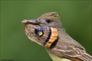 Great-crested_Flycatcher_4991-17