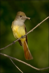 Great-crested_Flycatcher_8640-11