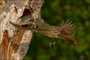 Great-crested_Flycatcher_9126-11