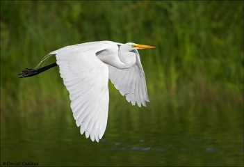 Great_Egret_5369-17