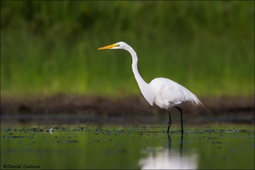 Great_Egret_5454-15