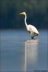 Great_Egret_5667-15