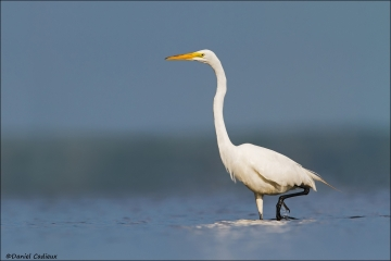 Great_Egret_5908-15