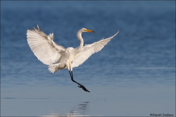 Great_Egret_7316-15