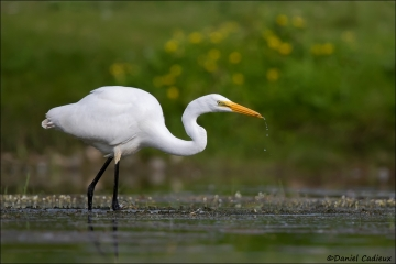 Great_Egret_7327-17
