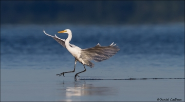 Great_Egret_7337-15