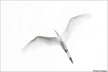 Great_Egret_7507-16