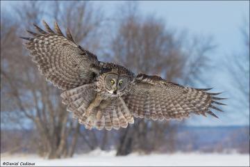 Great_Gray_Owl_0776-13