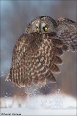 Great_Gray_Owl_0912-13