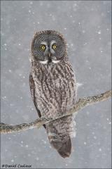 Great_Gray_Owl_1130-13