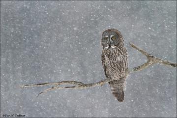 Great_Gray_Owl_1157-13