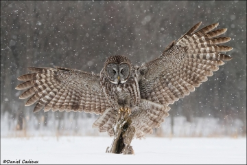 Great_Gray_Owl_1329-13