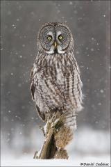Great_Gray_Owl_1359-13