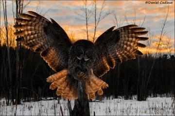 Great_Gray_Owl_2499-13