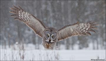 Great_Gray_Owl_3536-13
