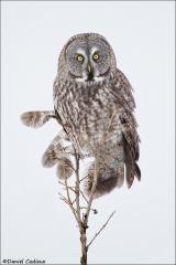 Great_Gray_Owl_3859-13