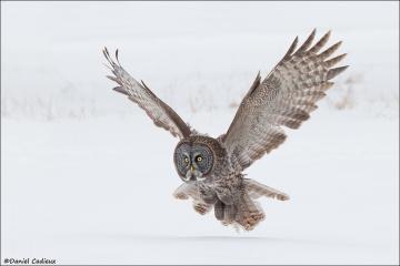Great_Gray_Owl_4005-13