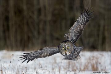Great_Gray_Owl_9400-13