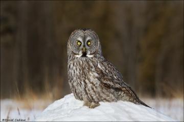 Great_Gray_Owl_9496-13