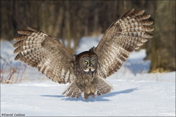 Great_Gray_Owl_9531-13